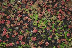 Verschiedene Pflanzen eignen sich für die Dachbegrünung, allen voran der Mauerpfeffer